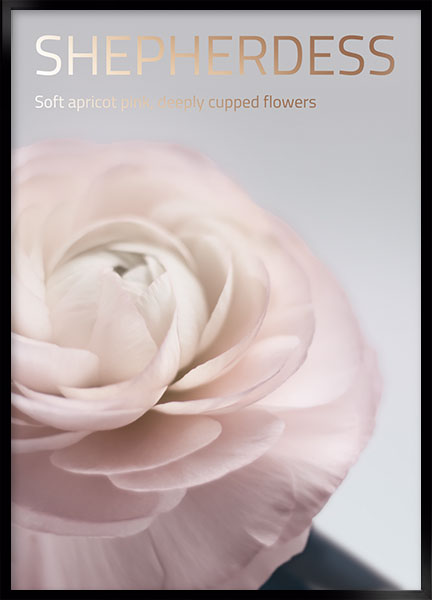 Posters - Belle rose no6