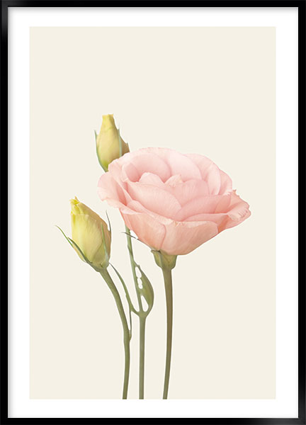 Posters - Eustoma no2
