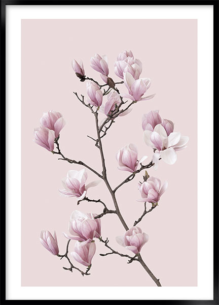 Posters Pink magnolia no2 - Blommor