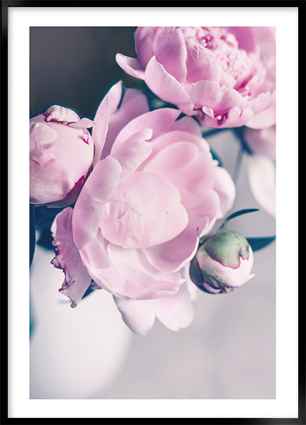 Posters - Peony pink no1